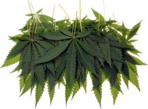cannabis leaves for juicing