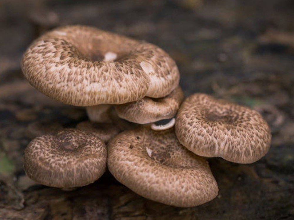 Shiitake - The mushrooms of Medicine Box