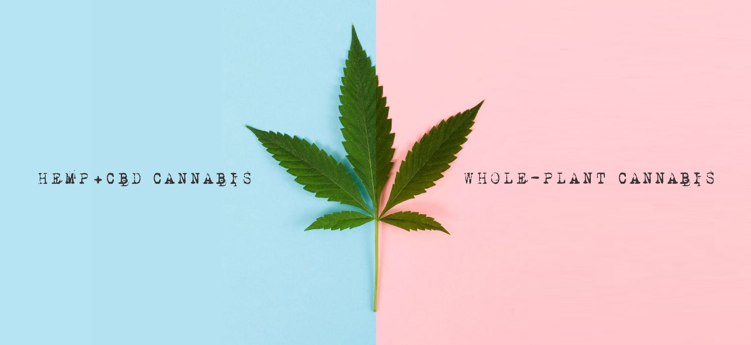 whole plant cannabis vs hemp cbd cannabis
