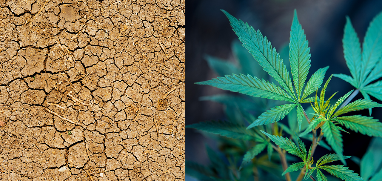 cannabis and climate change