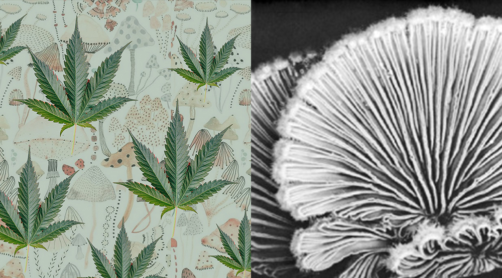 Active ingredients of our new tincture formulations: Cannabis and mushrooms