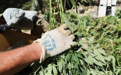 How Legalization Is Already Hurting California's Small Pot Farmers