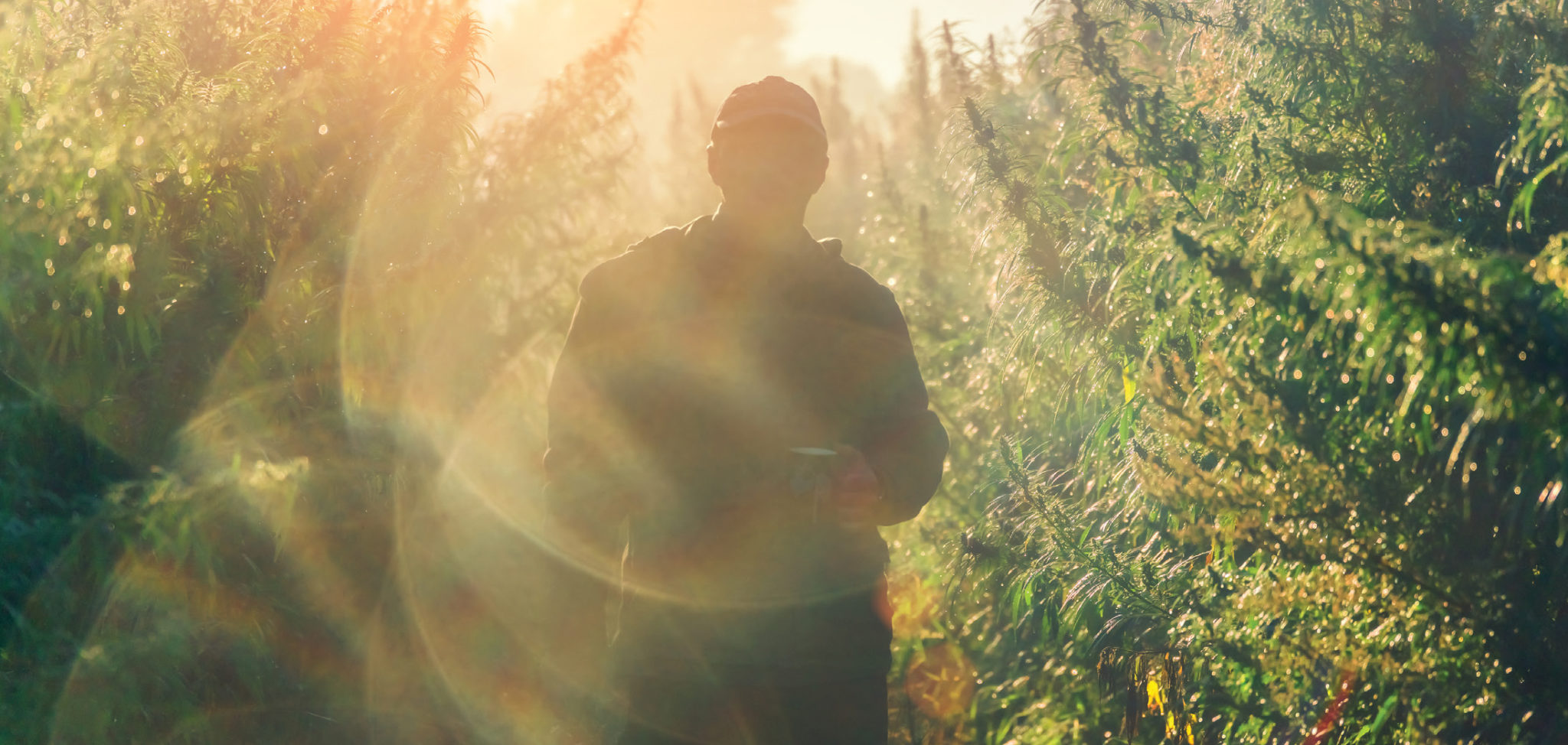 A man walking trough a cannabis farm