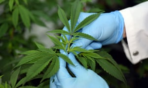 Australia's ambitions for Cannabis require government support in the form of relaxed regulation around production.